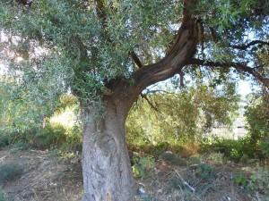 L'ulivo che rischia di essere abbattuto